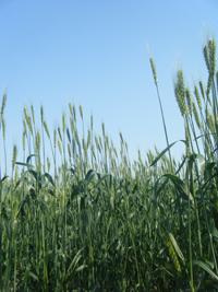 柳久保小麦200pixDSCF2805